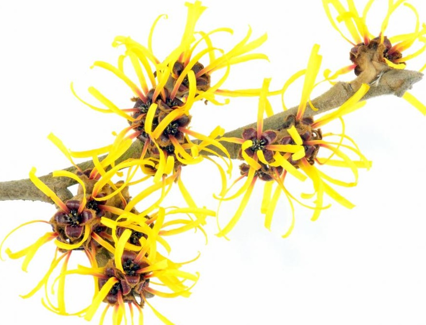 Применение чистого гамамелиса из растения гамамелиса может помочь в лечении синяков.